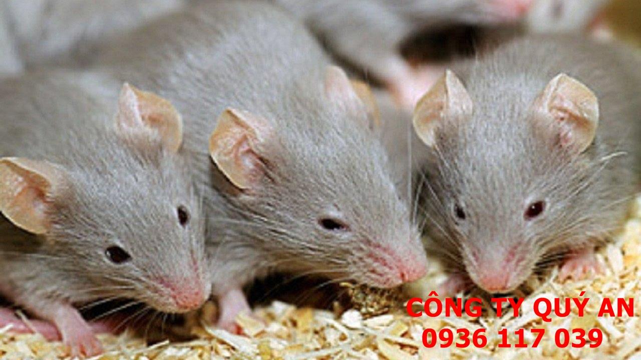 Dịch vụ diệt chuột giá rẻ, uy tín tại Bình Dương